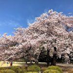 【桜満開!】の新宿御苑と、新宿御苑から見えるマンション特集