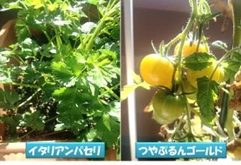 イタリアンパセリやミニトマト